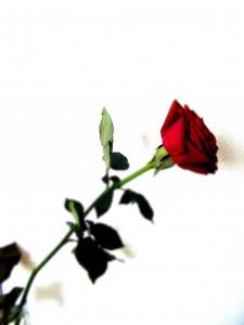 st_jordi rosa_roja_especial